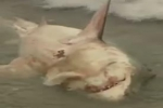 KSBW News: Great white shark caught in the shallow surf at Pleasure Point