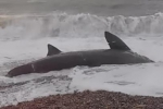 France: Mutilated basking shark beached in Le Havre