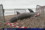 France 3 Normandie: Basking shark beached in Le Havre