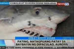 Philippines: Great white shark found dead in Aurora Province