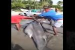 Large Hammerhead Shark Caught in Trinidad