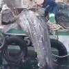 Thailand: DMCR investigates Whale shark capture