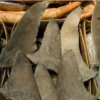 HKU-led Study Shows that Shark Fin Trade is Unsustainable