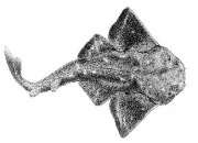 New research shows near extinction of angel shark in Irish waters
