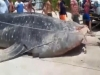 Large whale shark landed in Cuba