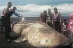 Whale shark stranded in East Java