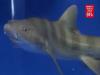 Nippon TV News: Mysterious shark 'virgin' birth