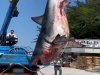 MBC NEWS: 5m Great white shark caught in southern Korea