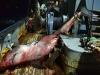 Nov 2020: Great White Shark Caught in Kuril Islands