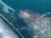 Video: Megamouth Shark Released Off Taiwan