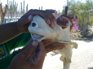 Bizarre-looking shark caught in Mexico