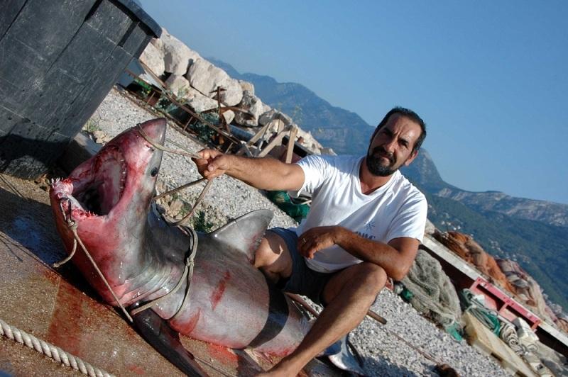 great white shark caught in adriatic sea shark year magazine