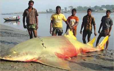 Crocodilo marinho VS Peixe serra gigante Sawfish-bangladesh_2011-11-25