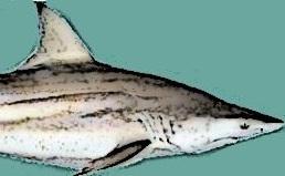 blacktip_shark_2_ha