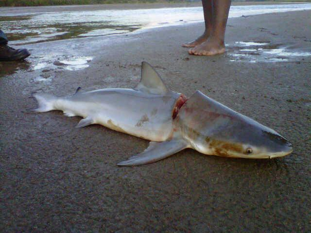 Small Bull Shark killed by Rangers in South African River | Shark