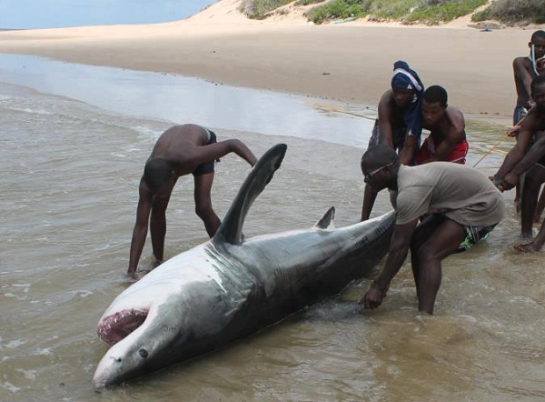 great white shark mozambique jan2013_3_read