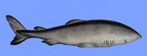 greenland_shark3