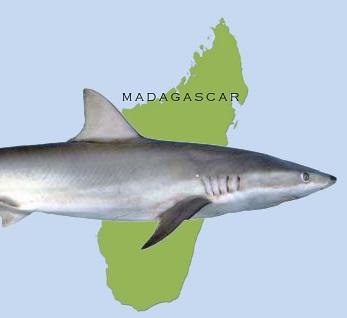 mada_shark1